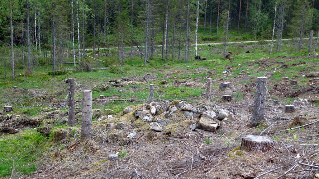 Stubbar runt odlingsröse. Foto: Peter Ask