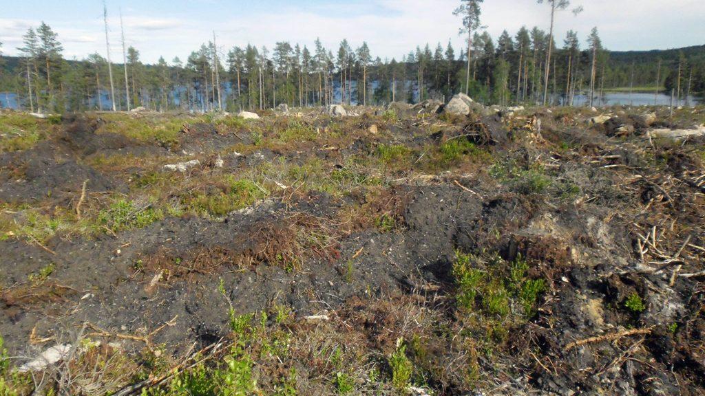 Lämning efter en kolmila har vänts upp efter en skogsavverkning. Foto: Skogsstyrelsen Värmland