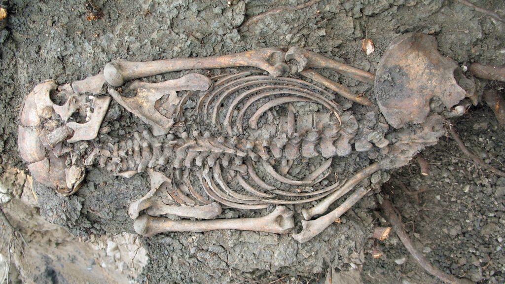 Vuxen man begravd i Sigtuna på 1000-talet. Foto: Sigtuna Museum
