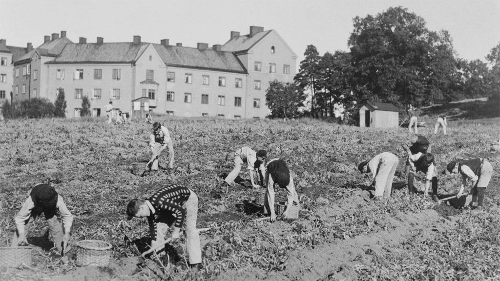 Potatisupptagning i Kristinebergsparken i Stockholm. Foto: Svenska Dagbladet (Stockholmskällan)