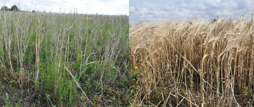 Till vänster skalkorn på en odlingsruta med som inte gödslats sedan 1950-talet och till höger skalkorn som odlats på på en gödslad odlingsruta. Foto: Mikael Larsson