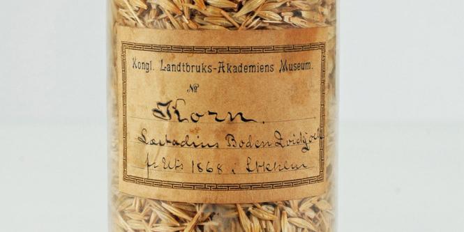 En av fröburkarna med korn odlat i Kvikkjokk 1867. Foto: Matti Leino